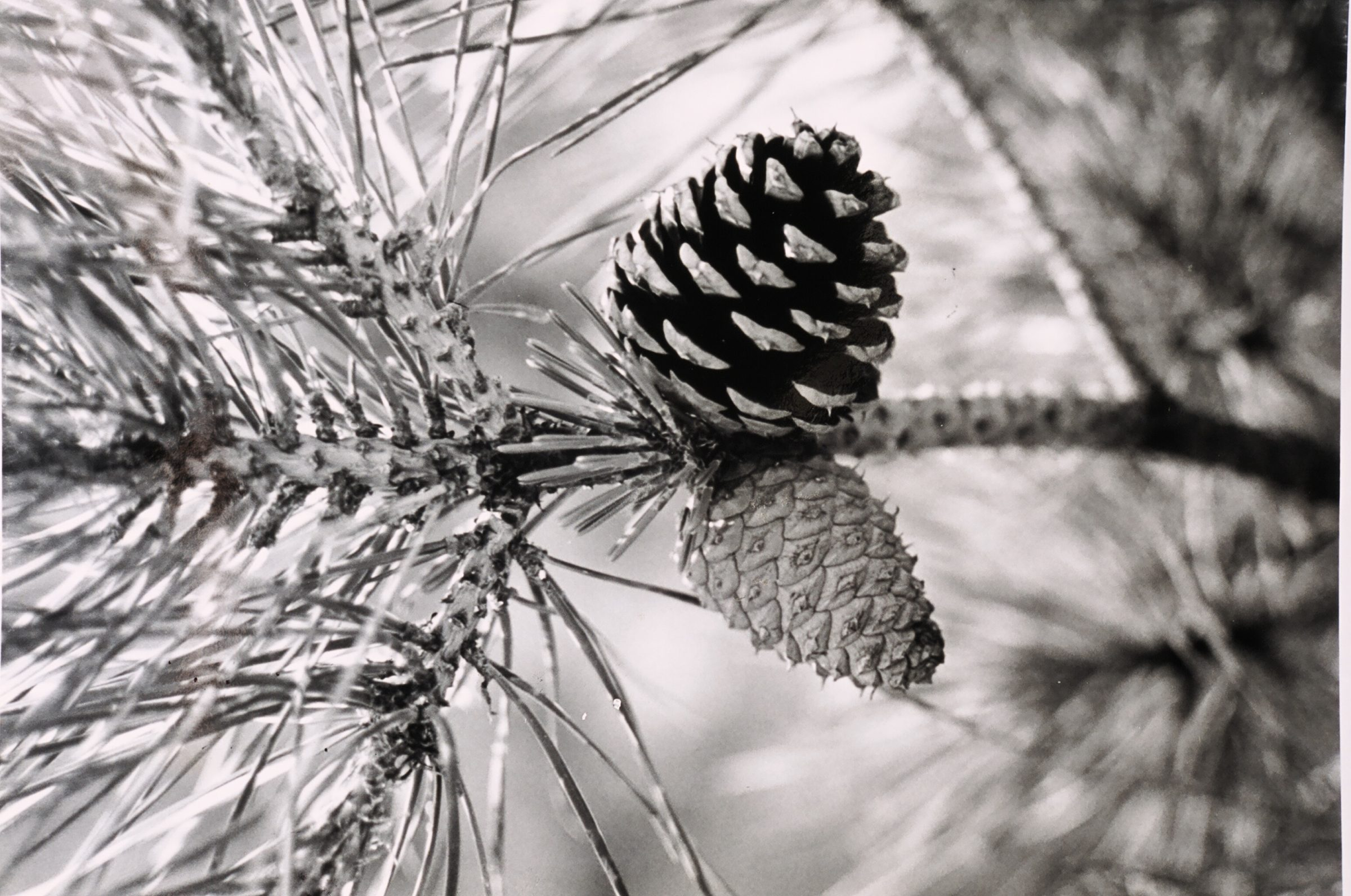 Long Island Pine Barrens Pine Cone