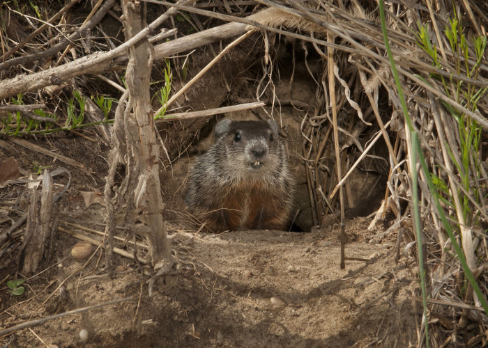Long Island Groundhog