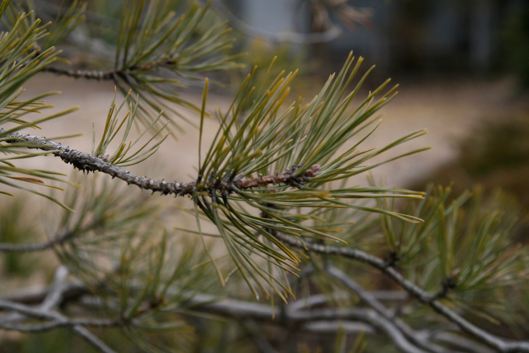 Pitch Pine branches and needles