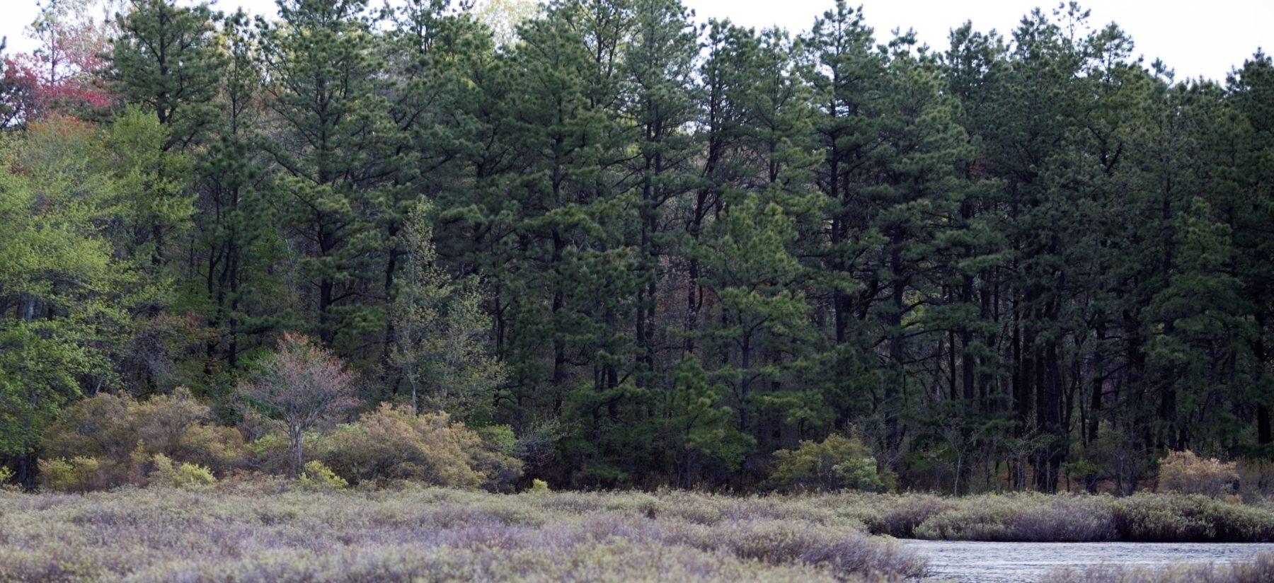 Pine Barrens Woods