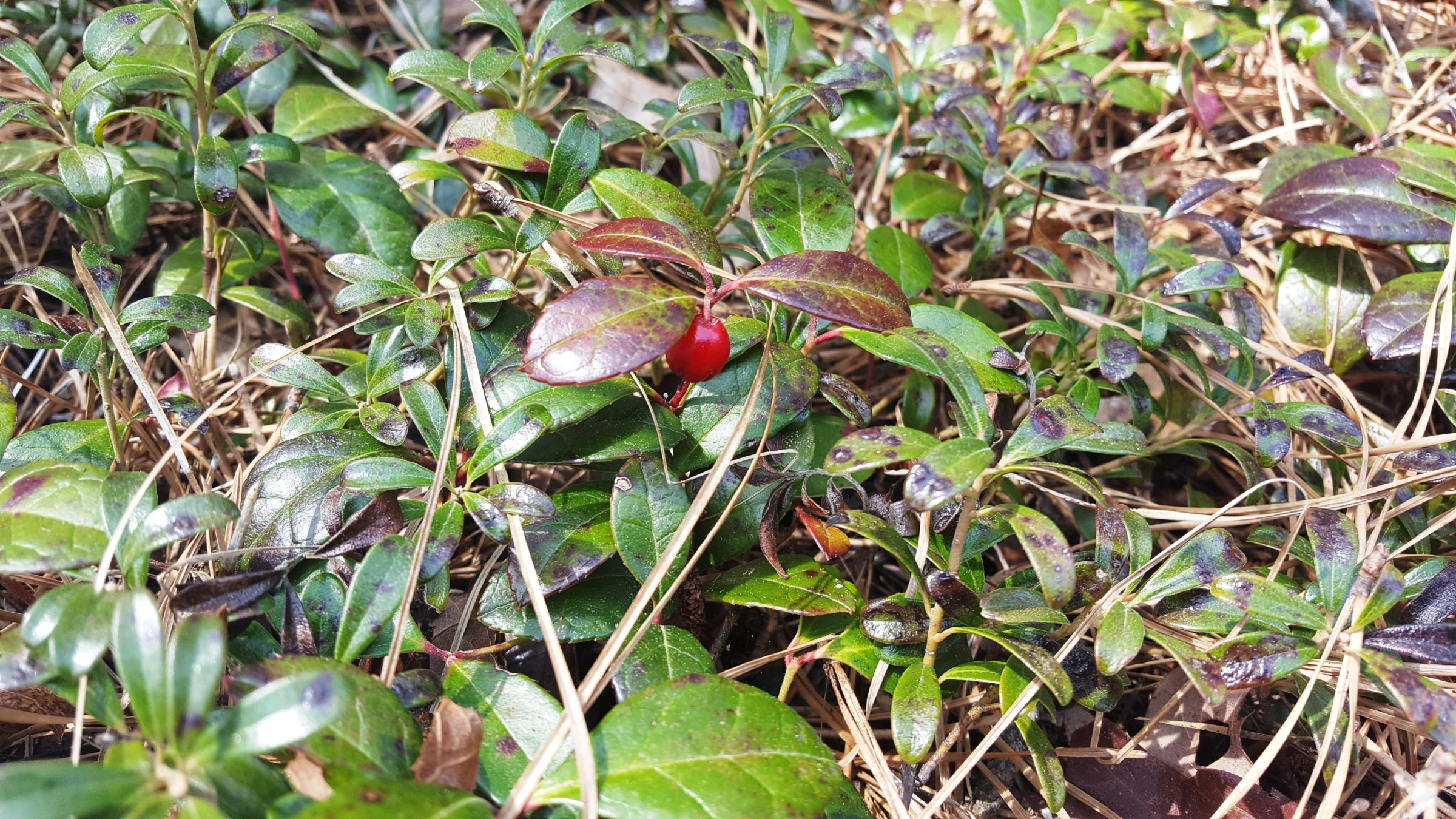 Wintergreen plant with red berry
