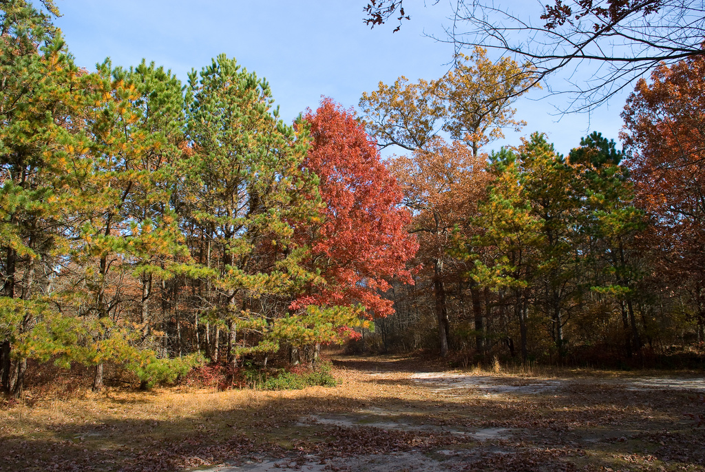 Fall colors in the Long Island Pine Barrens