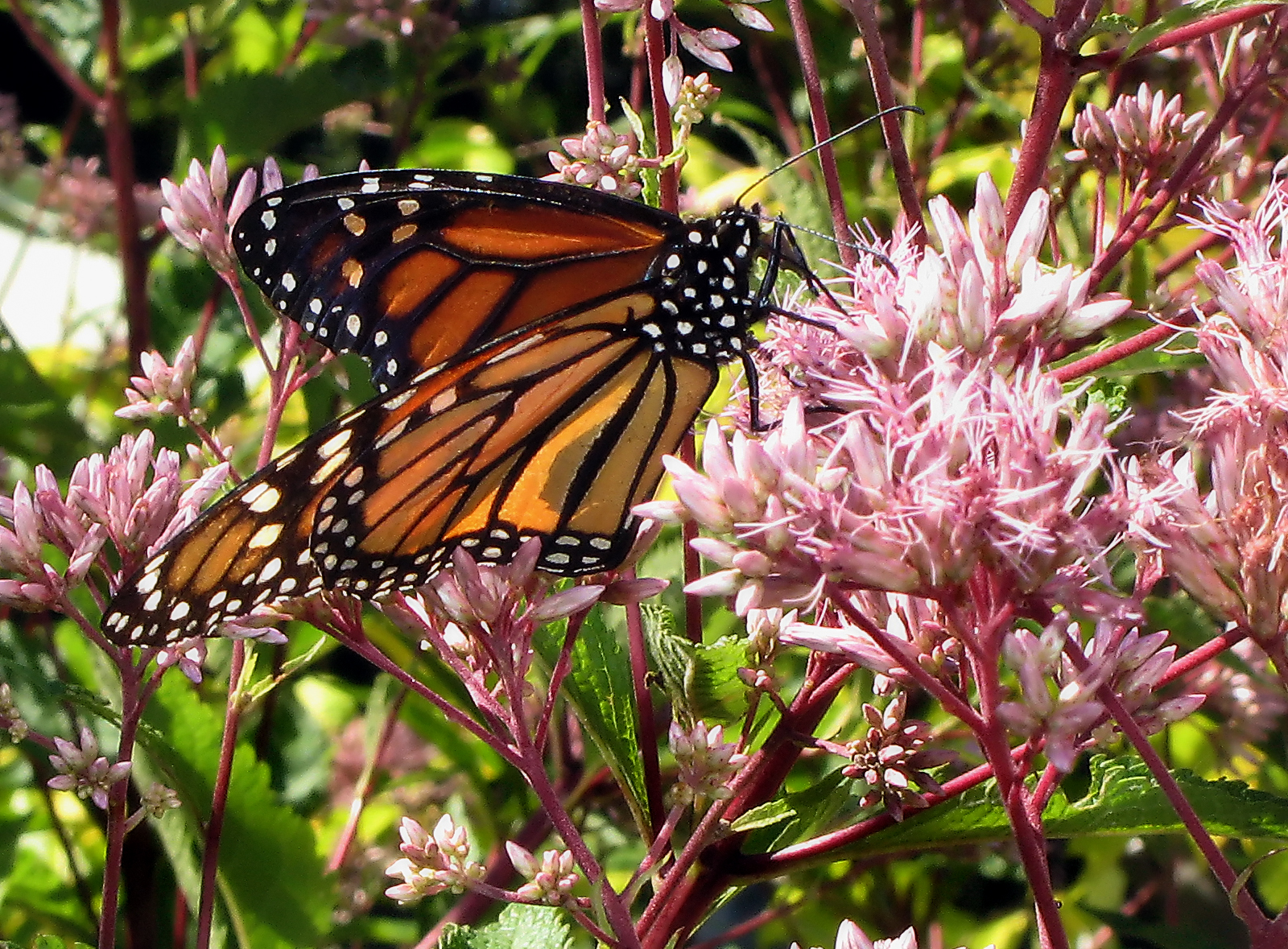 Monarch Butterfly feeding on a flowering plant
