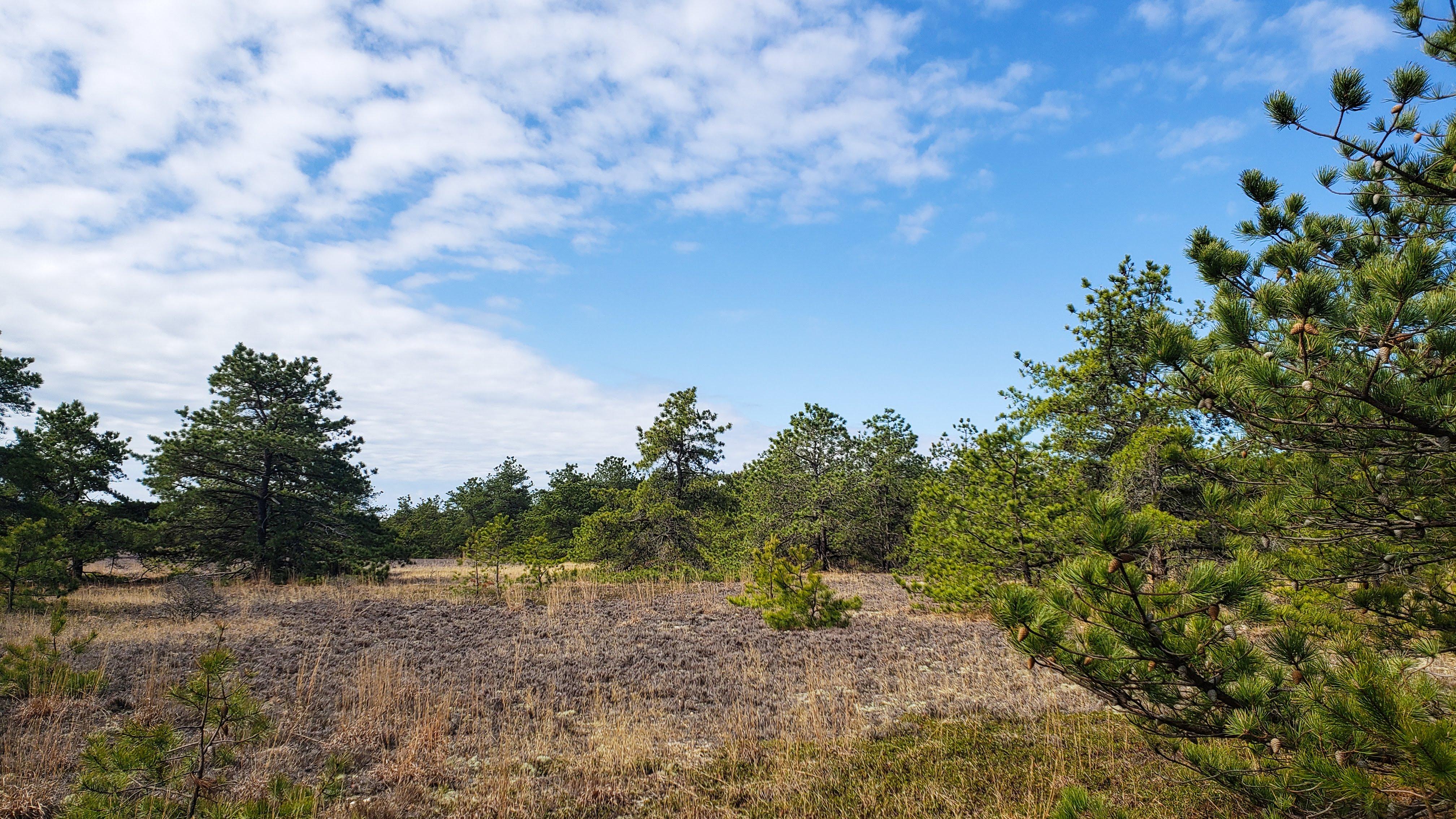 landscape photo of long island's dwarf pine plains