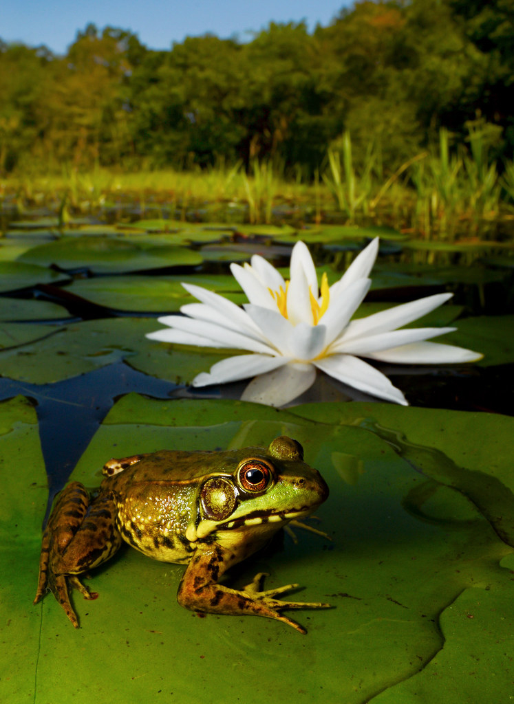 Green frog on a lily pad in the long island pine barrens