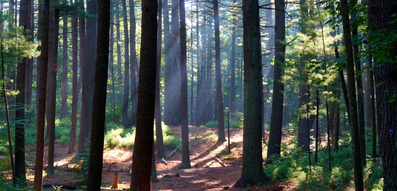 light shining through pine trees