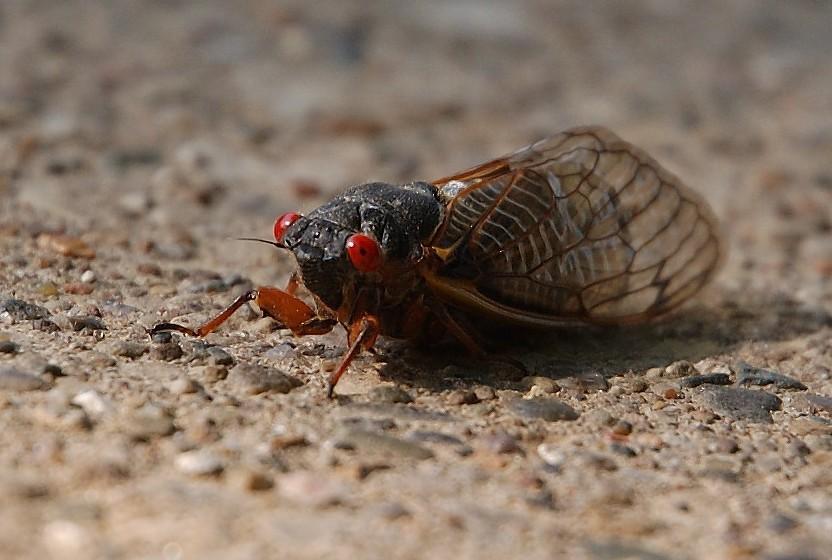 It's Cicada Season on the East Coast