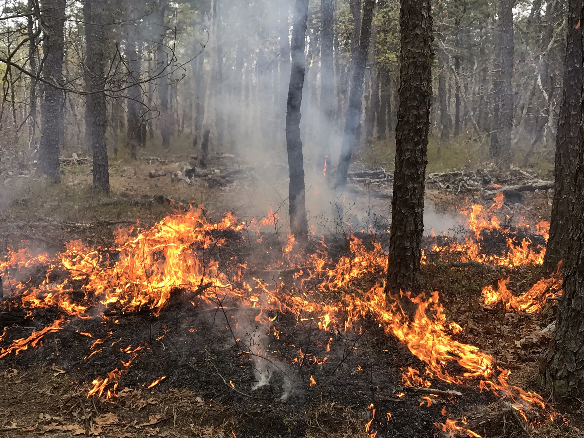prescribed fire in the long island pine barrens