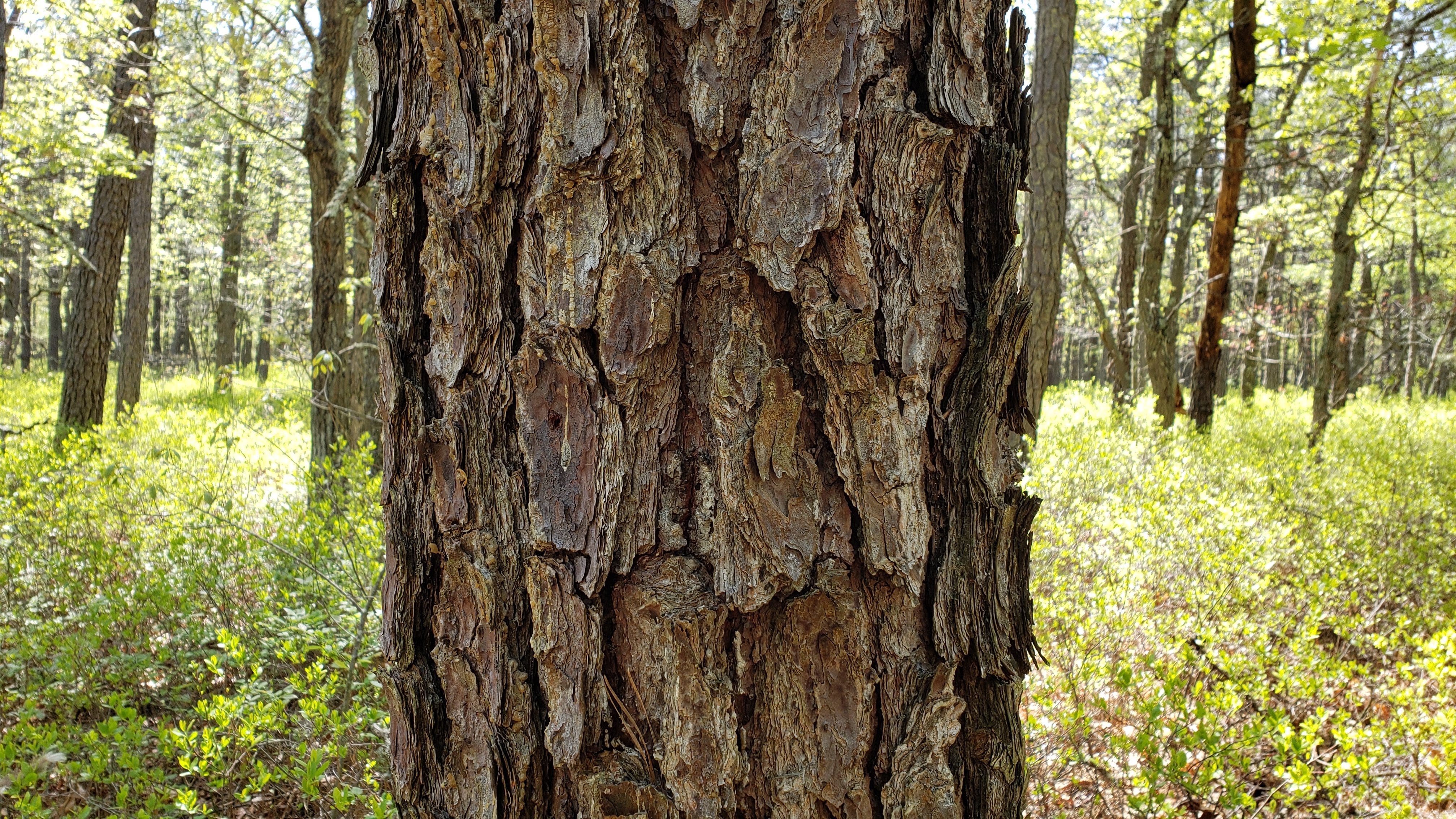 bark of a pitch pine tree