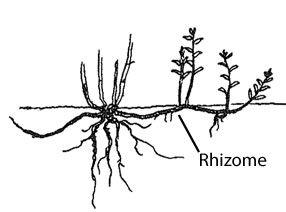 graphic depicting underground plant rhizome stems