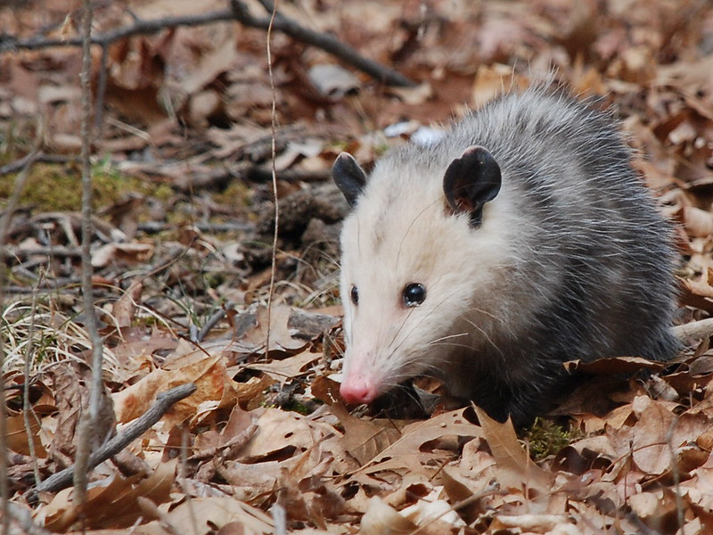The North American Marsupial