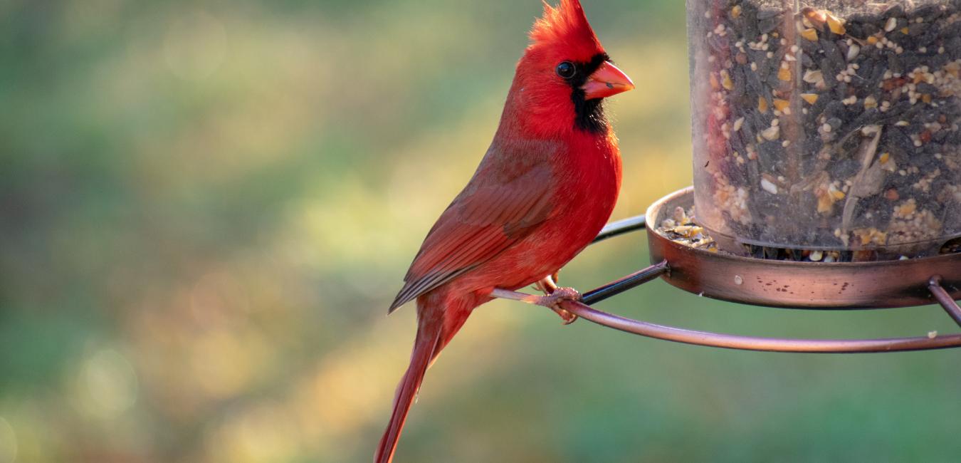 red northern cardinal on a bird feeder