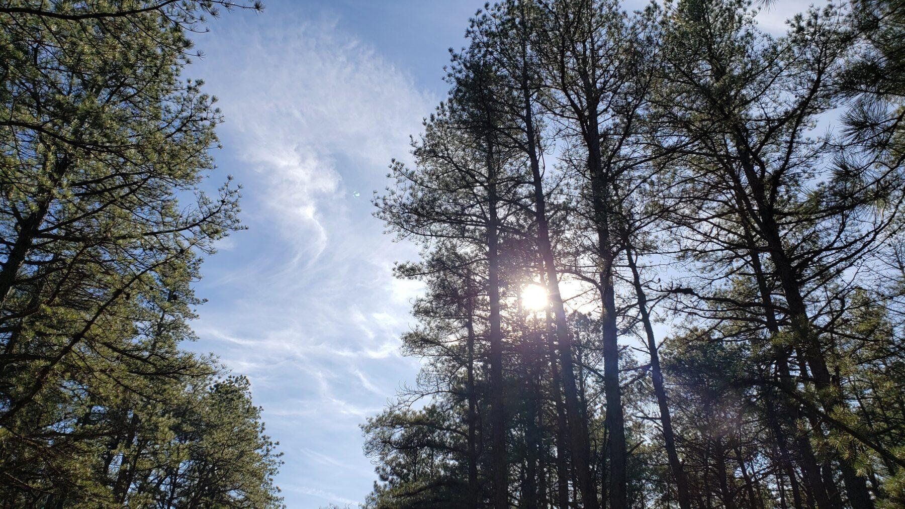 view of sun through pitch pine needles cranberry bog county park