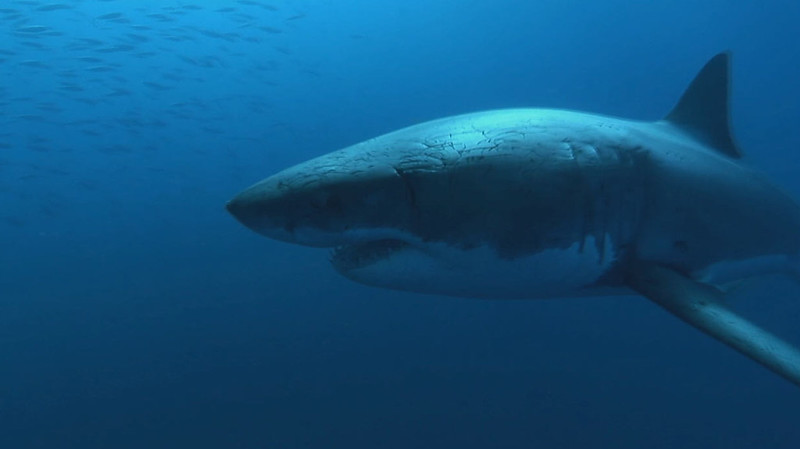 Shark Week in the Pine Barrens