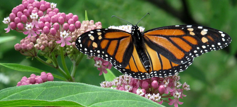 Monarchs & Milkweed: The Tale of Two Declining Species